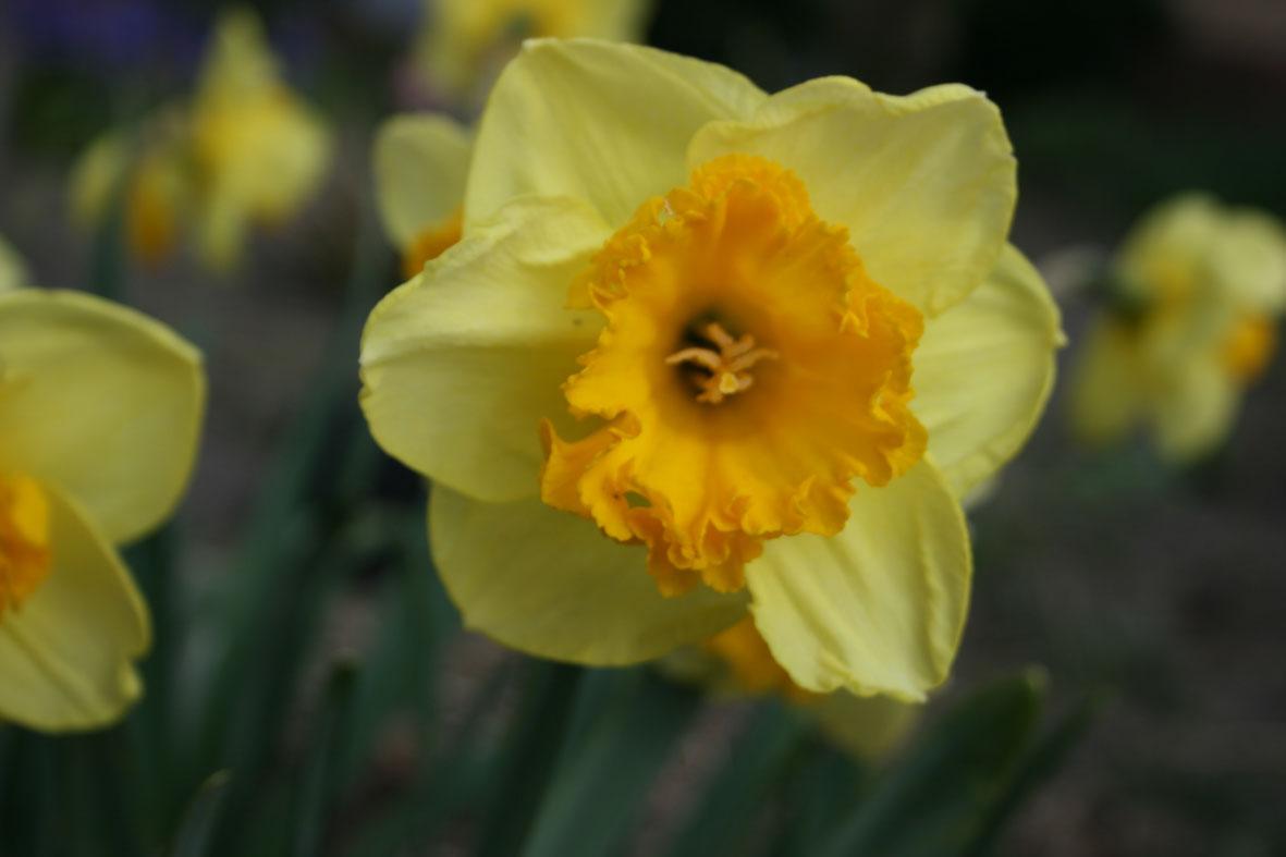 Narcissus Diverse zaailingen_Van der Slot Lisse (11)58
