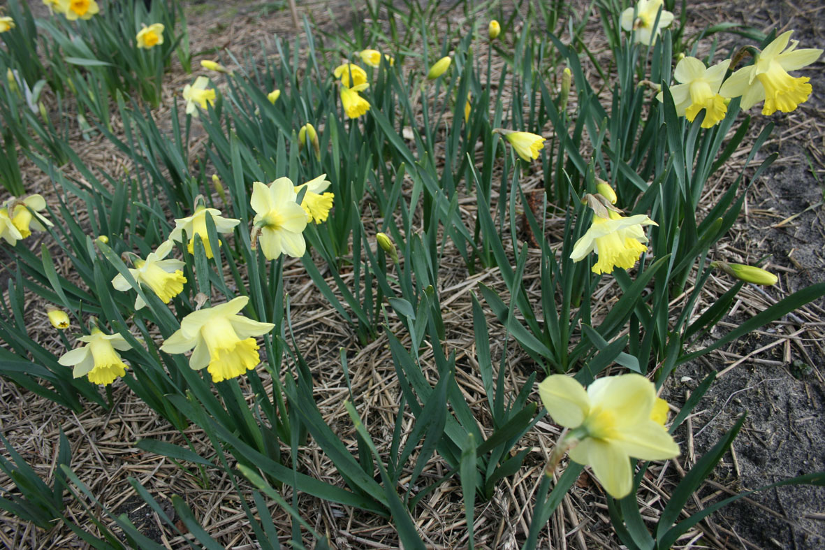 Narcissus Diverse zaailingen_Van der Slot Lisse (12)59