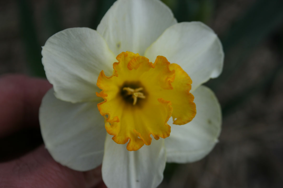 Narcissus Diverse zaailingen_Van der Slot Lisse (2)60