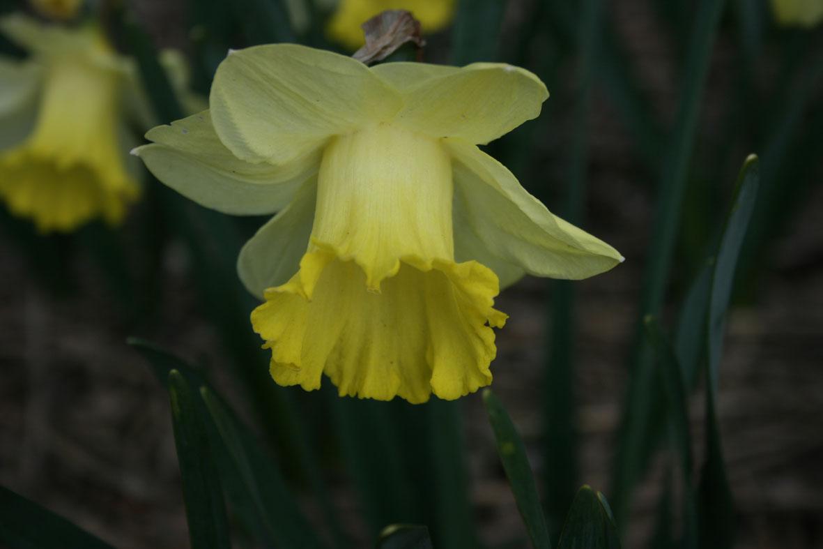 Narcissus Diverse zaailingen_Van der Slot Lisse (3)61