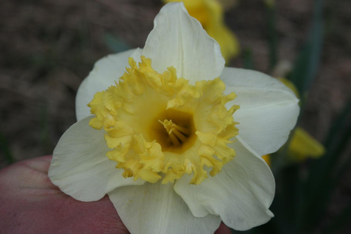 Narcissus Diverse zaailingen_Van der Slot Lisse (4)62