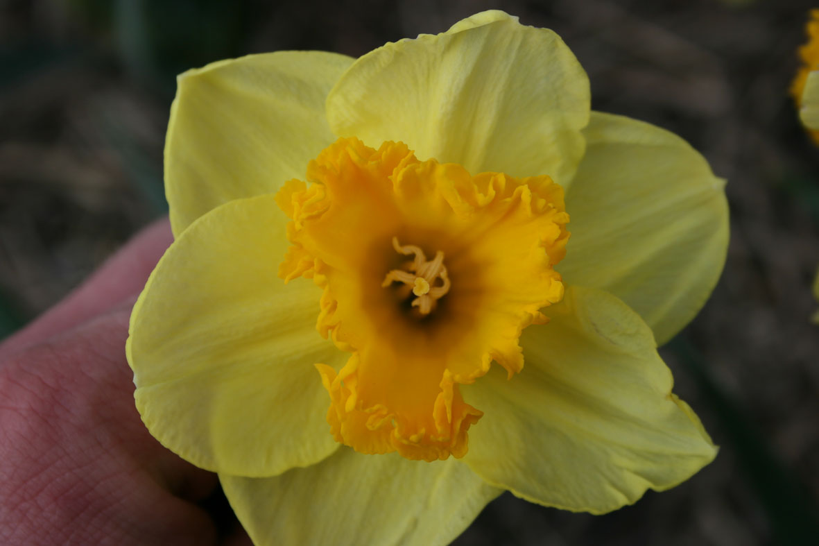 Narcissus Diverse zaailingen_Van der Slot Lisse (9)67