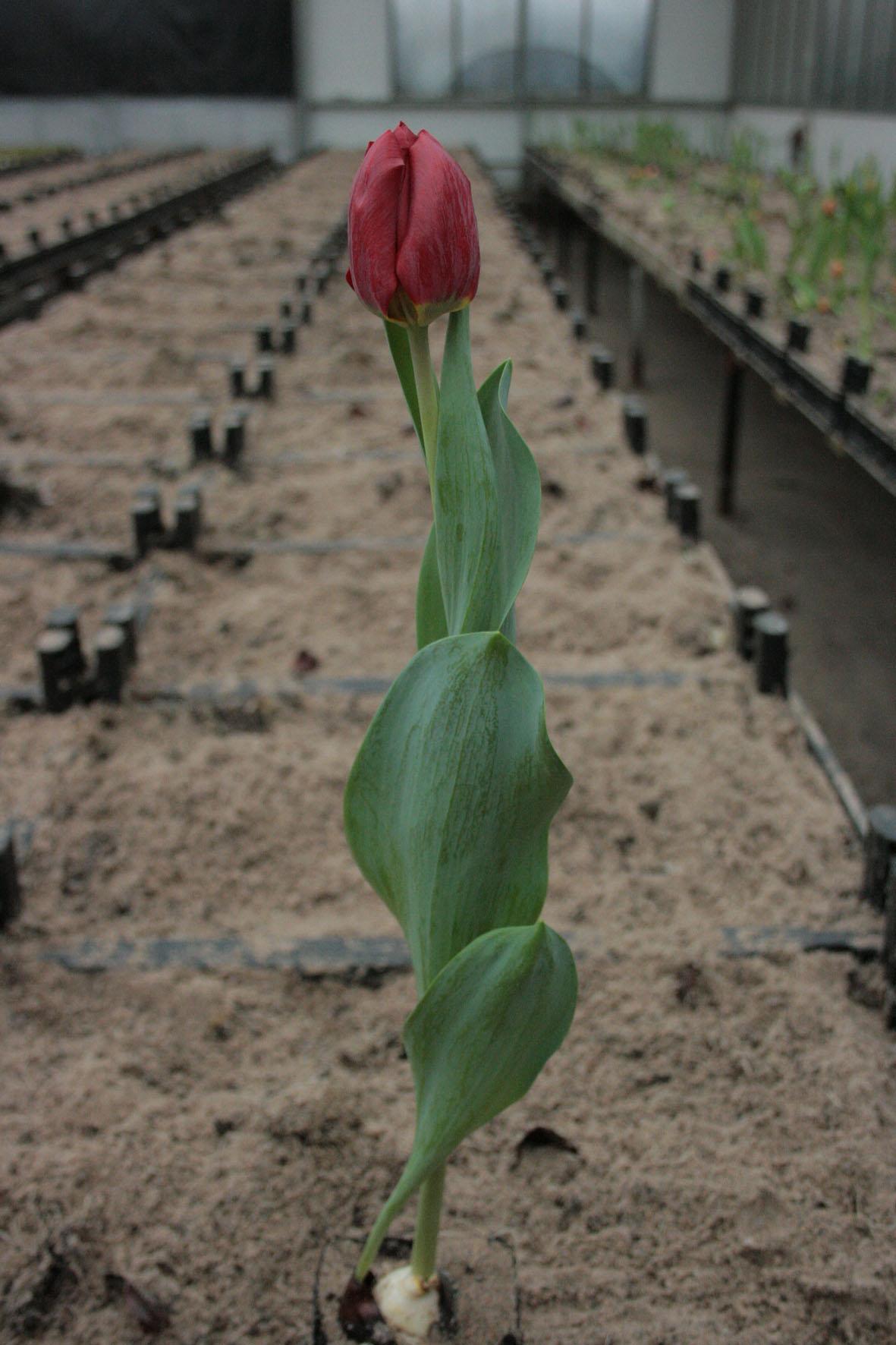 zaailing tulp 14 - Van der Slot Lisse9