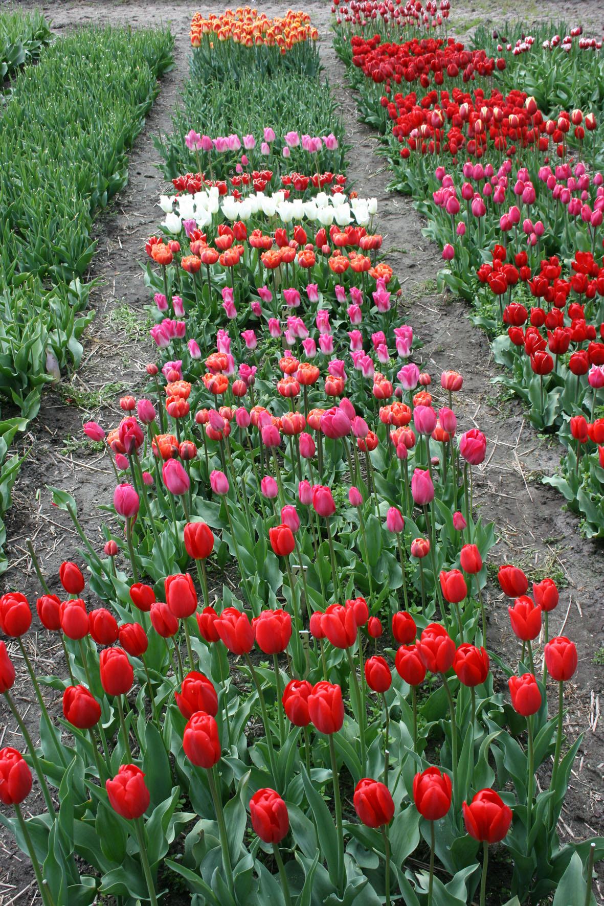 zaailingen tulp 14 mei 2010 067 Van der Slot Lisse21